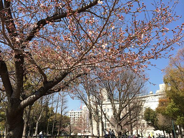 湊川公園桜